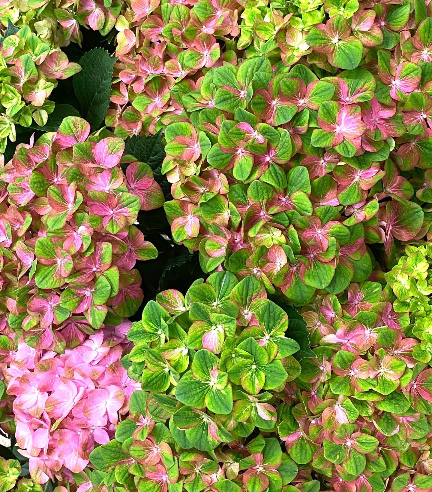 アジサイ、マジカルグリーンファイヤーです。これ1鉢で、直径90センチあります^ ^上手く育てれば今から秋まで楽しめます。母の日までアジサイ色々紹介していきます!#あじさい#ハイドランジア#紫陽花#母の日#ヒカリカ