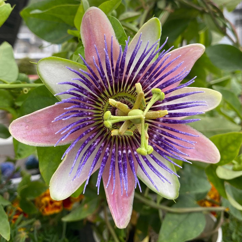 時計草の花が咲きました!まさに時計です。花が終わると、パッションフルーツがなります🥭このパッションの意味は、情熱だろうとずっと思ってました。南国植物だし。本当はキリストの受難の方らしいです。花が、十字架や釘に見えるから。花の意味や歴史って結構深い。